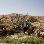 Olive trees destroyed in Zbeidat