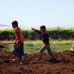 Planting olive trees in Al Bikaa